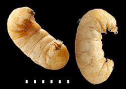 Donacia versicolorea larva