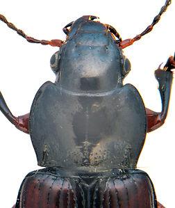 Curtonotus alpinus thorax.jpg