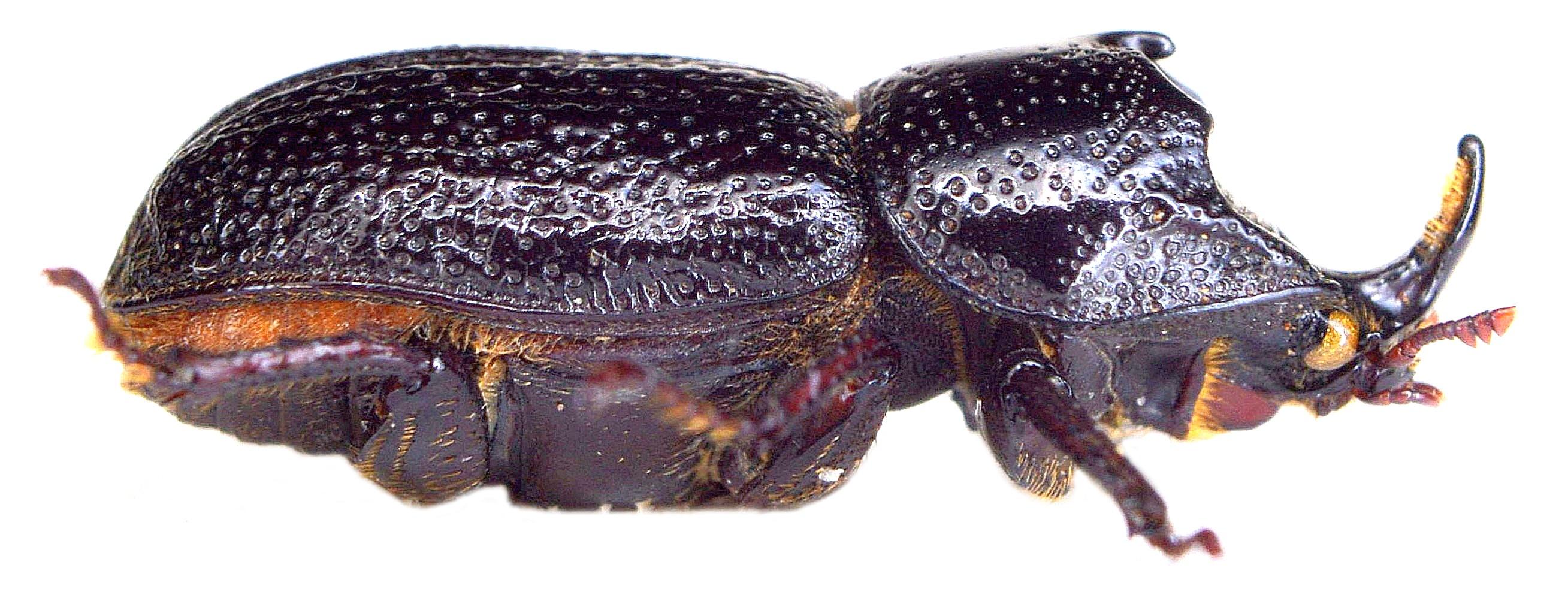 Sinodendron cylindricum ♂