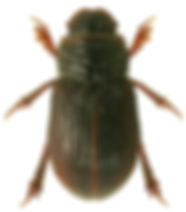 Psammodius asper 1.jpg