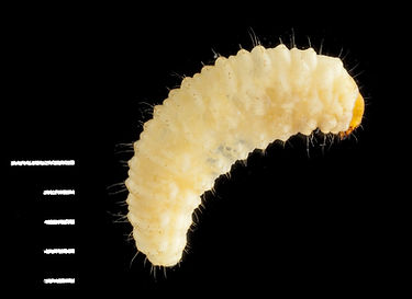 Otiorhynchus sulcatus larva.jpg