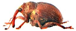 Coeliodes transversealbofasciatus 3