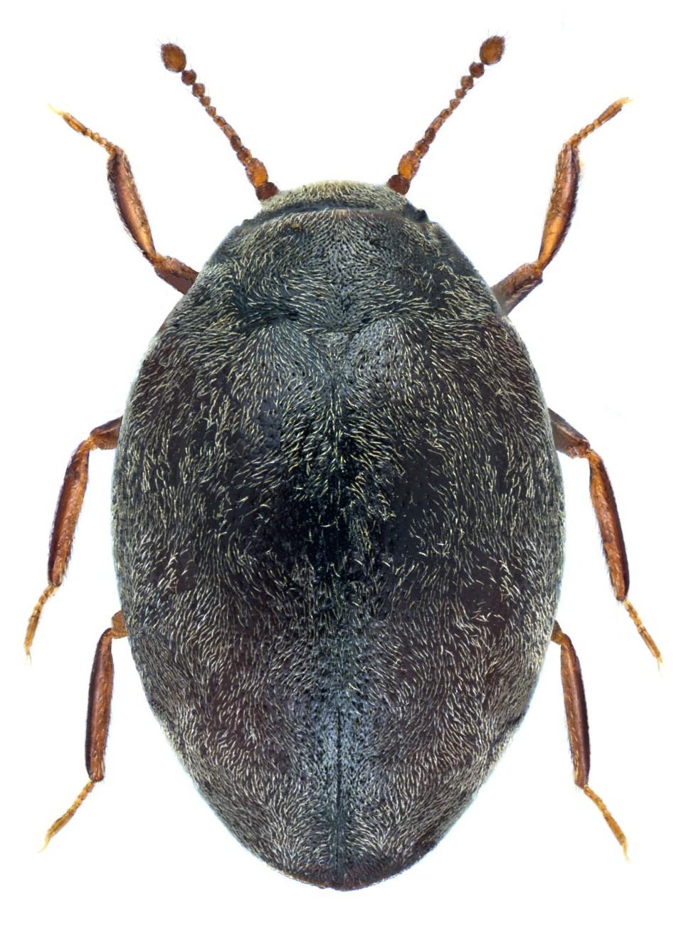 Limnichus pygmaeus