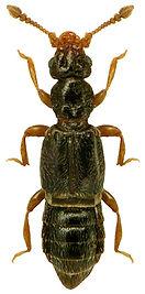 Bibloplectus pusillus.jpg
