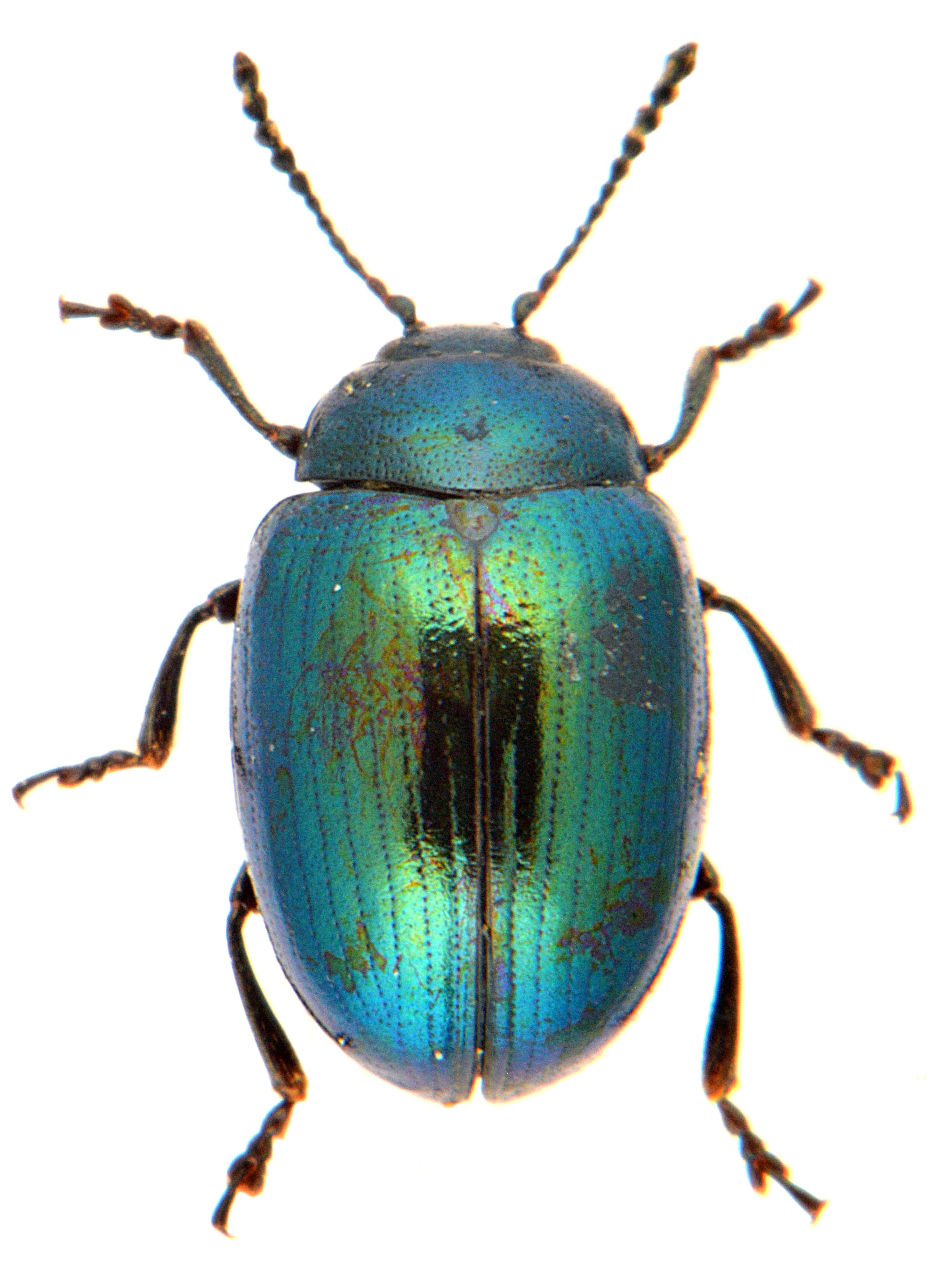 Phaedon cochlaeriae 1
