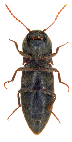 Agriotes lineatus 3