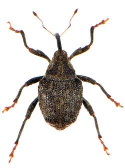 Parathelcus pollinarius 2