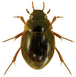 Laccobius bipunctatus