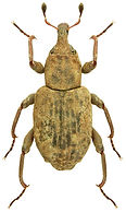 Bagous longitarsis.jpg