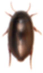 Ilybius chalconatus 1.jpg