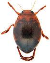 Hyphydrus ovatus 2.jpg