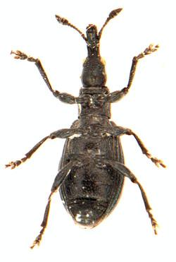 Perapion violaceum 3