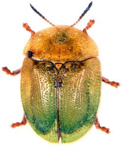 Cassida rubiginosa 2