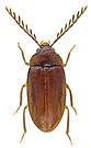 Ptilodactyla exotica Chapin, 1927  Male