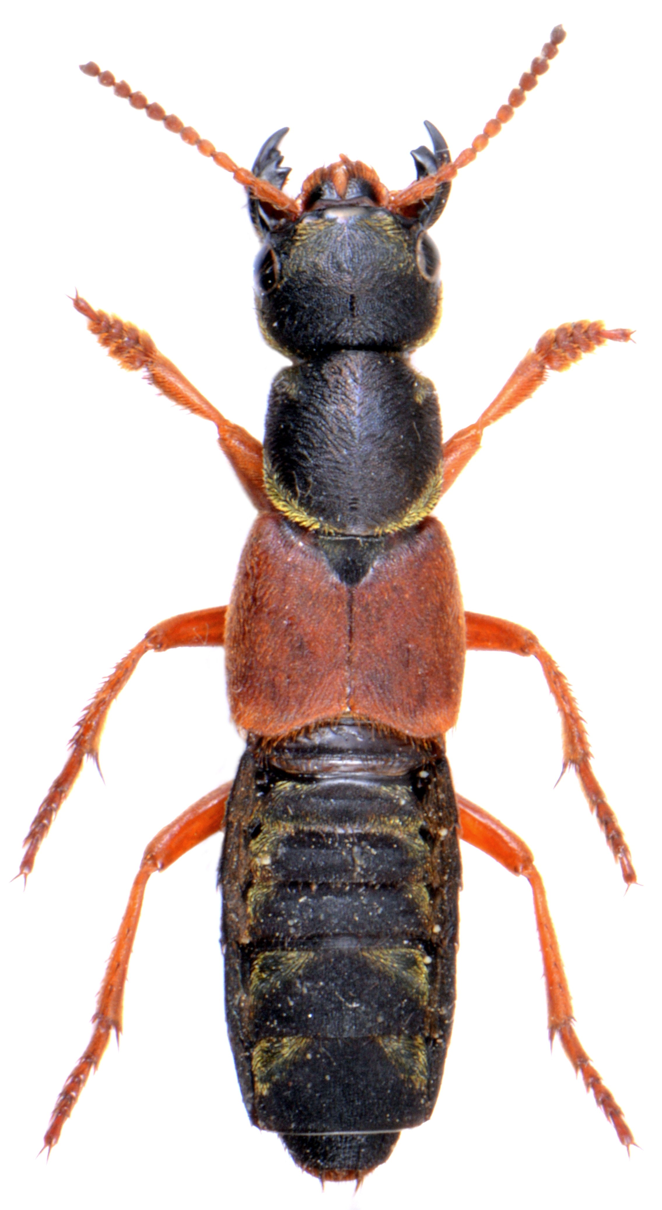 Staphylinus caesareus 1