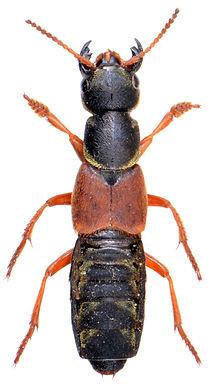 Staphylinus caesareus 1.jpg