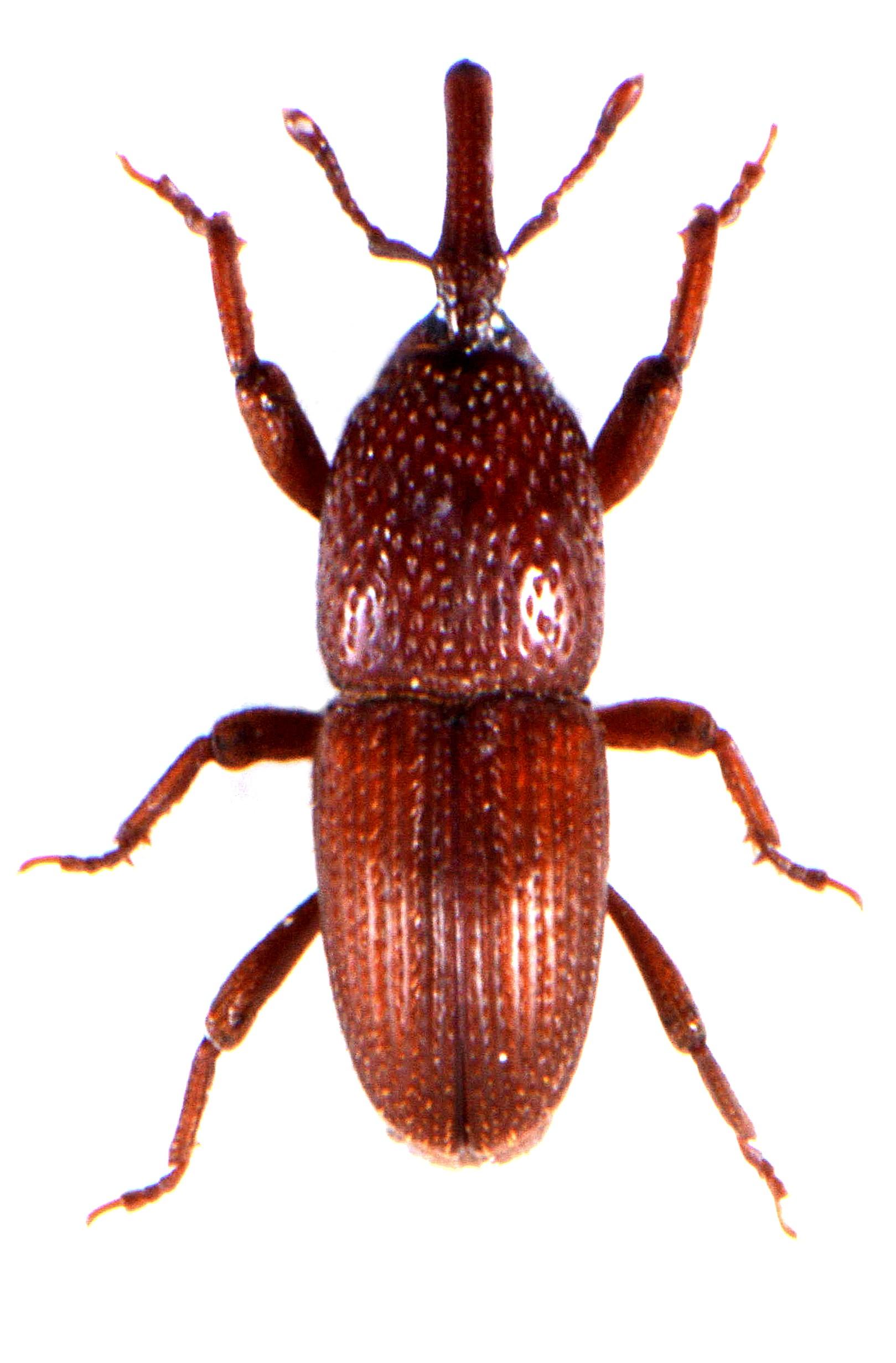 Sitophilus granarius 1