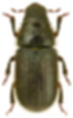 Dendroctonus micans.jpg