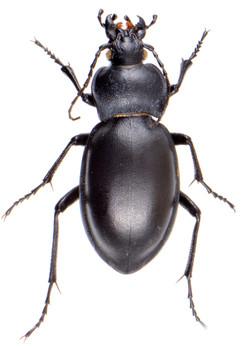 Carabus glabratus ♀