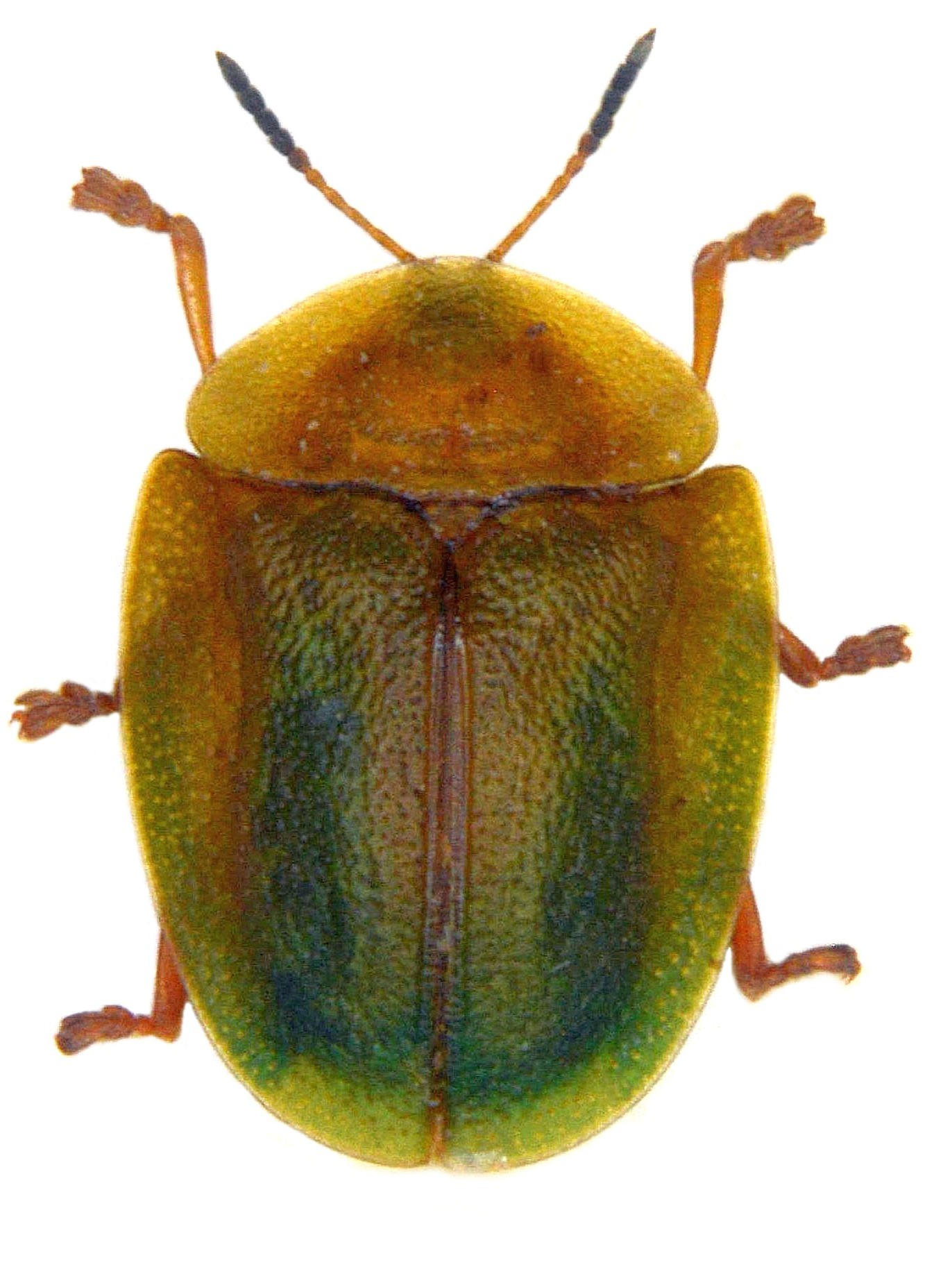 Cassida viridis 1