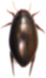 Ilybius fenestratus 1.jpg