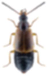 Orochares angustatus.jpg