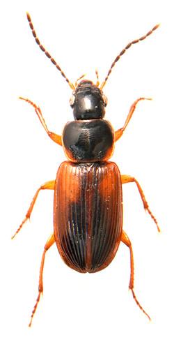 Stenolophus mixtus 1