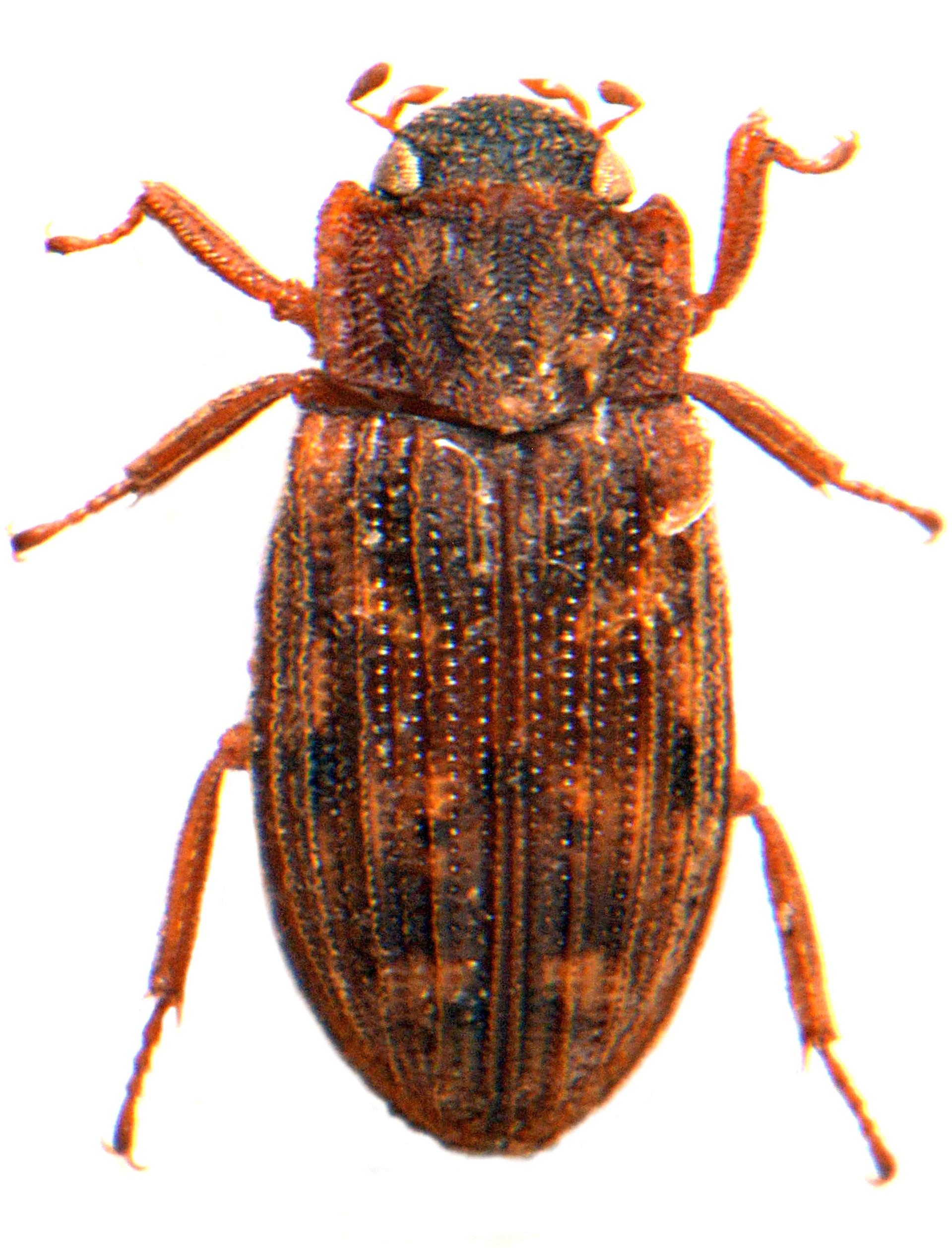 H. (Empleurus) nubilus