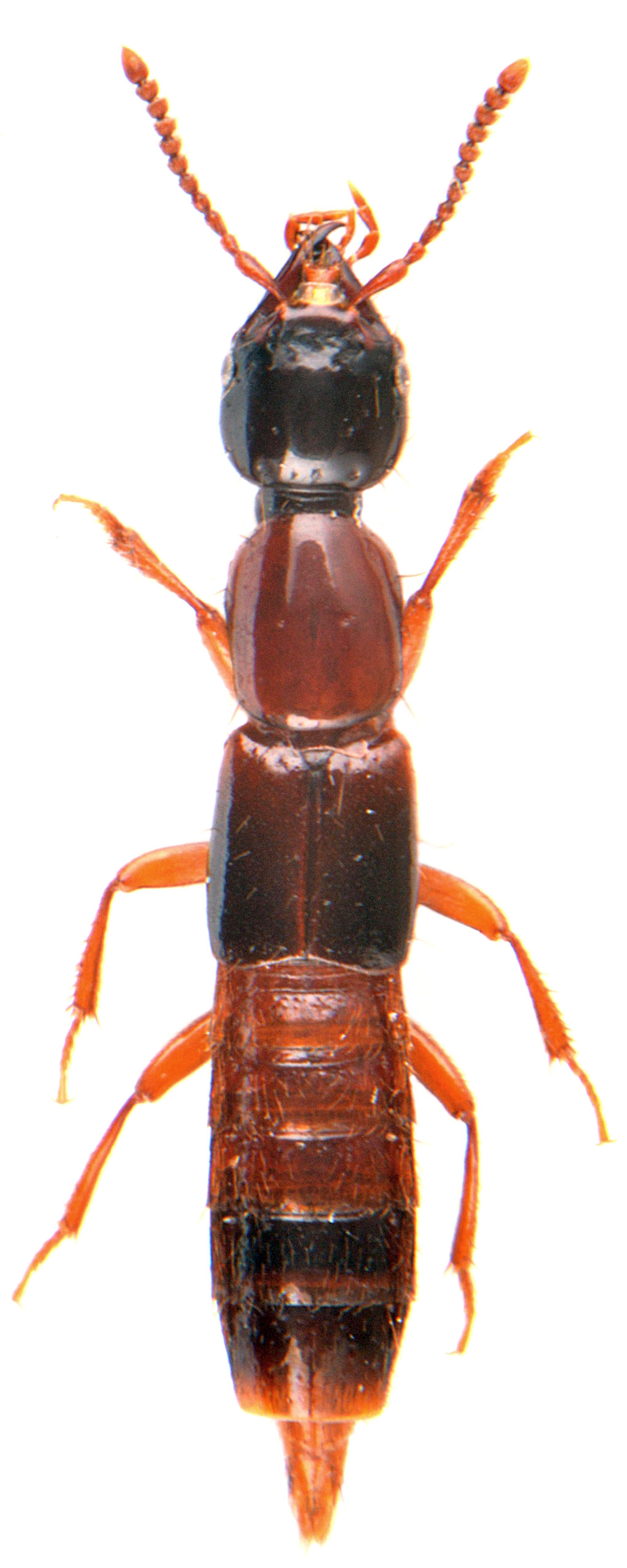 Atrecus affinis 4