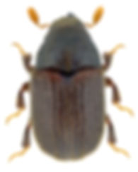 phloeosinus_thujae_1.jpg