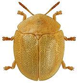 Cassida hemisphaerica.jpg