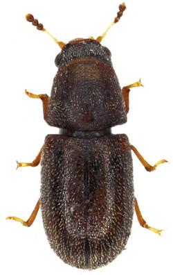Cis bilamellatus 1