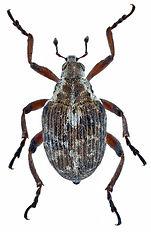 phytobius_leucogaster_1.jpg