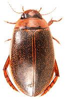 Rhantus exsoletus 1.jpg