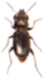 Notiophilus germinyi 1.jpg