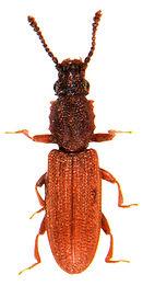 Oryzapehilus surinamensis 1.jpg