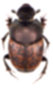 Onthophagus fracticornis 3.jpg