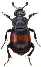 Nicrophorus vespilloides 1.jpg