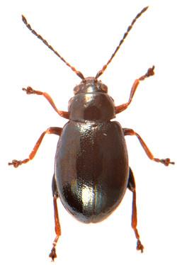 Aphthona nonstriata 2