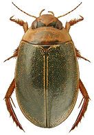 Rhantus bistriatus.jpg