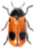 Clytra laeviuscula 1.jpg