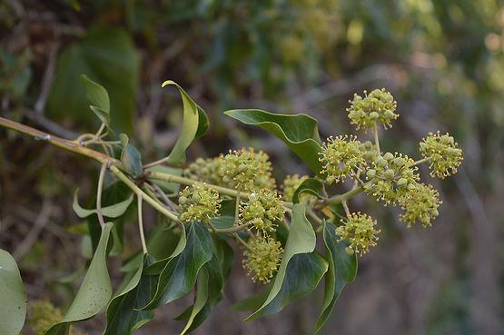 Common ivy 2.jpg