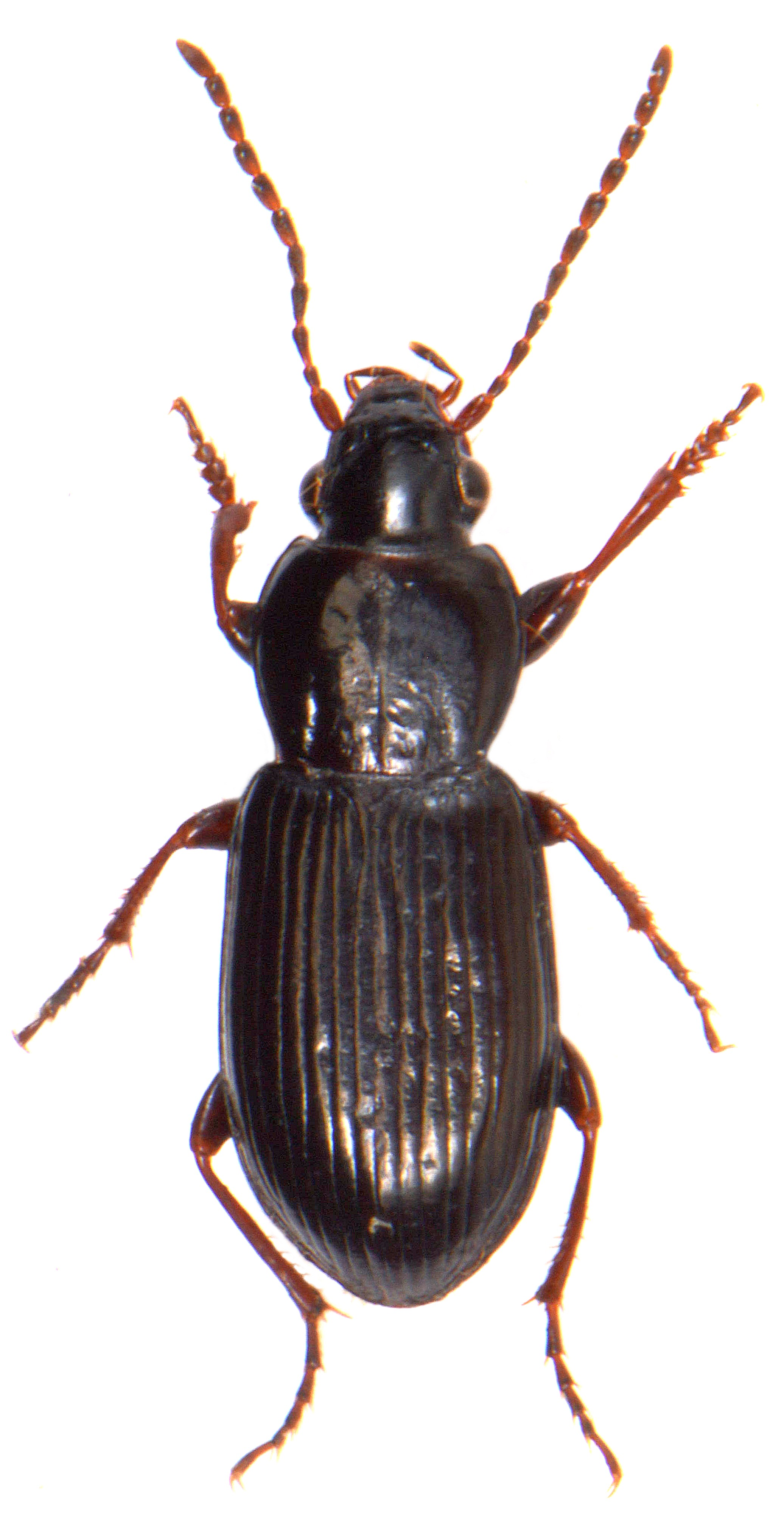 Pterostichus diligens 1