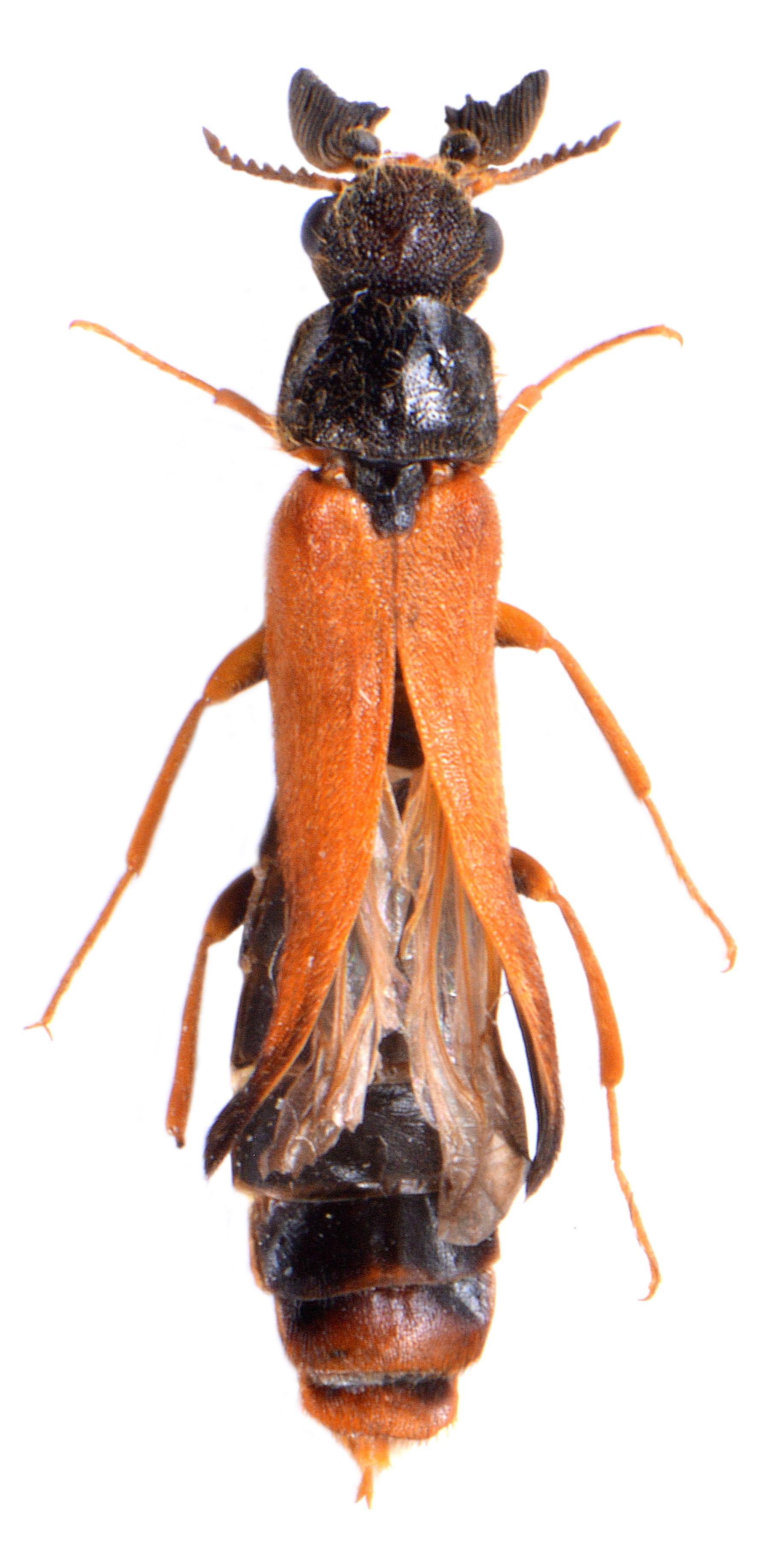 Hylecoetus dermestoides ♂