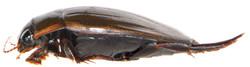 Dytiscus semisulcatus side view