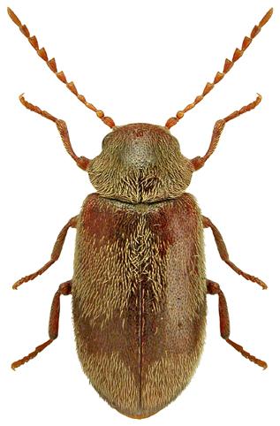 Ochina ptinoides 2