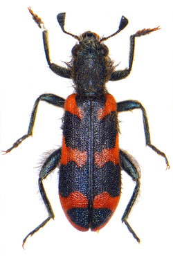 Trichodes alvearius 1