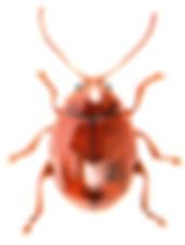 Sphaeridium testaceum.jpg