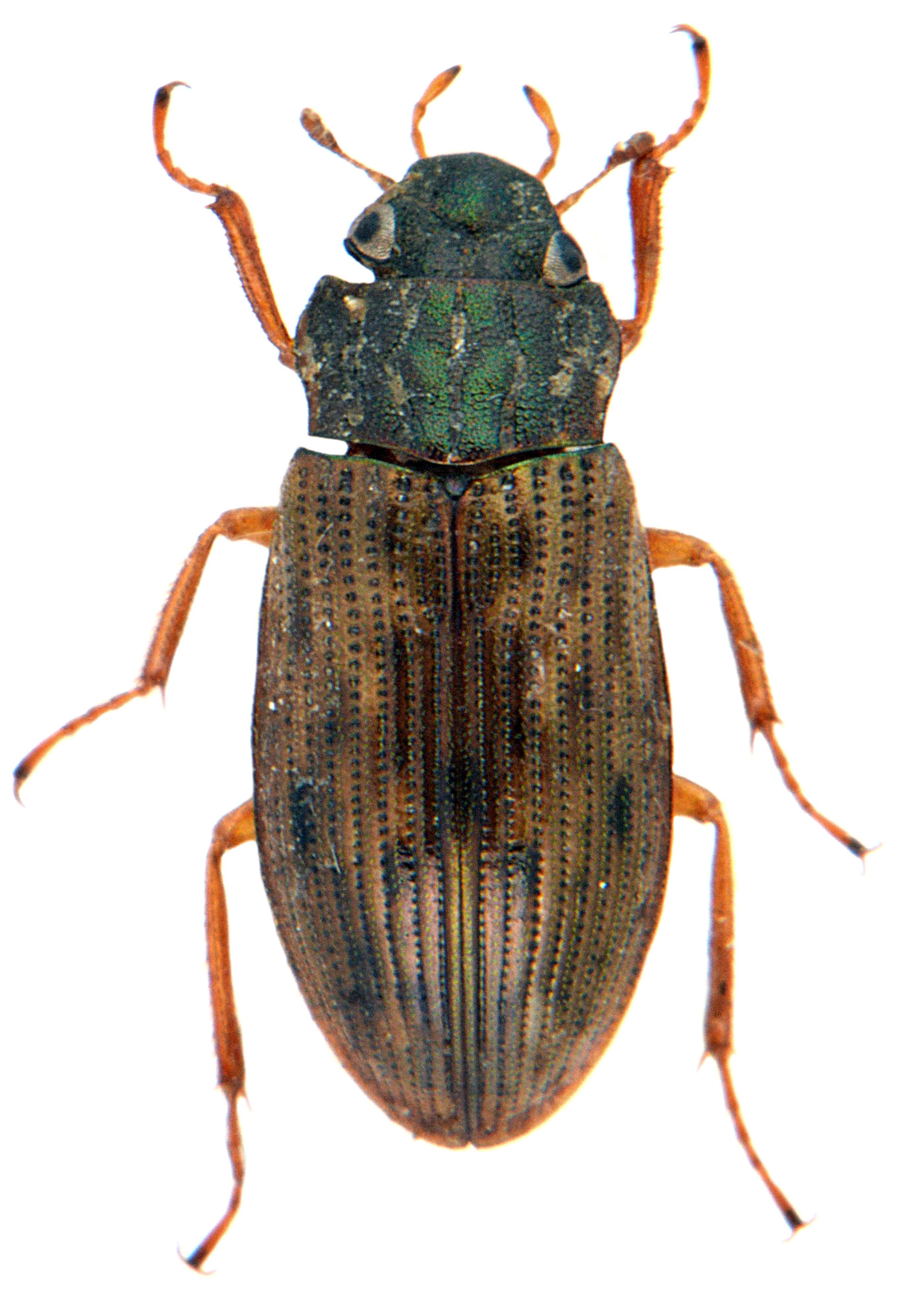 Helophorus aequalis 2