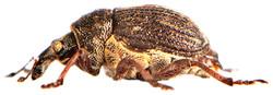 Rhinoncus pericarpius 6